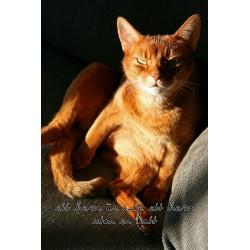 Röd katt i solljus